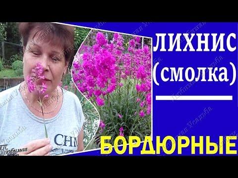 Бордюрные цветы для сада.  Лихнис Вискария Смолка