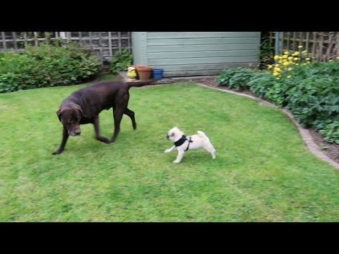 Pug puppy meets labrador!