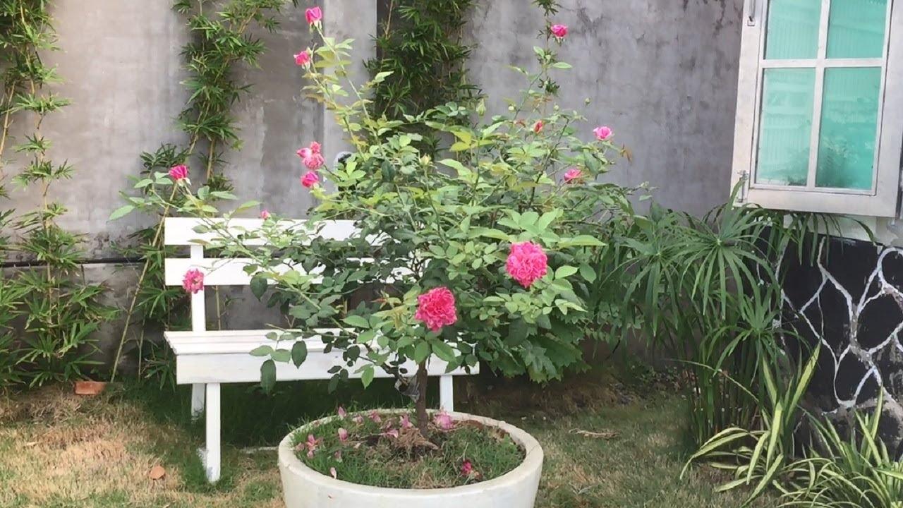 Kết quả hình ảnh cho trồng hoa hồng cổ sapa đẹp