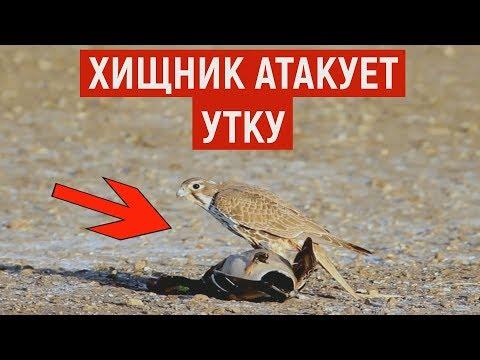 Хищный сокол атакует утку. Редкие кадры