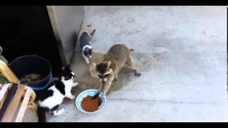 Енот украл корм у котов