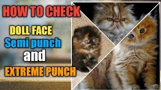 Persian cat face types ! doll face ! Semi punch ! extreme punch