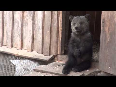 IFAW Orphan Bear Rescue Project - Russia