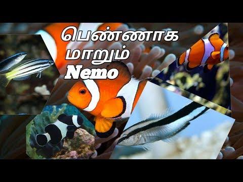 Clown fish gender transformation in tamil | aquarium | cleaner wrasse | aquarium | entso tamilanz|