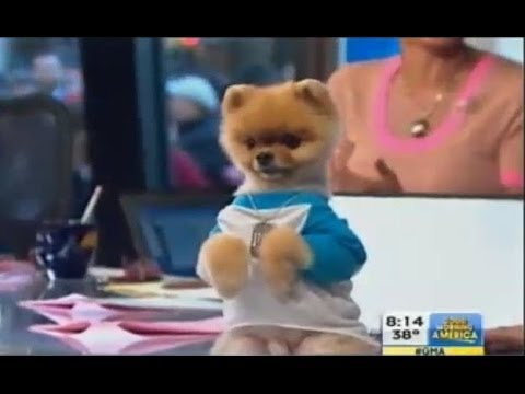 jeff the pomeranian jiff the dog on gma pomeranian actor does trick on gma 5633