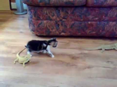 Котенок испугался ящериц-драконов