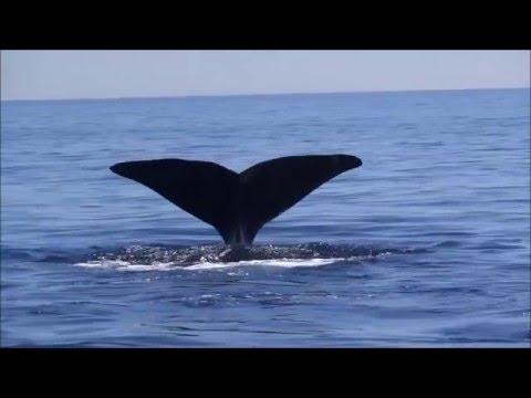 Balena nel Golfo di Orosei   Su Barone