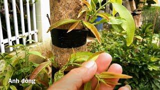 Ghép cây mai mới bứng về trồng có được không