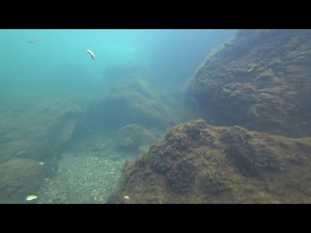 Glavatica, Danube Salmon (Hucho Hucho) from river Kupica (Croatia). Shot by Alan Grdi?, Croatia.