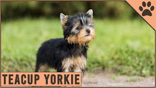 How Big Can Teacup Yorkies Grow  Detailed Yorkshire Terrier Information