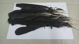 काले कौवे के पंख से काला जादू/ BLACK MAGIC FROM CROW FEATHER Contact No. 7982256503