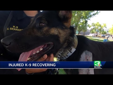 San Joaquin County Sheriff' K-9 On Road To Recovery After Stabbing