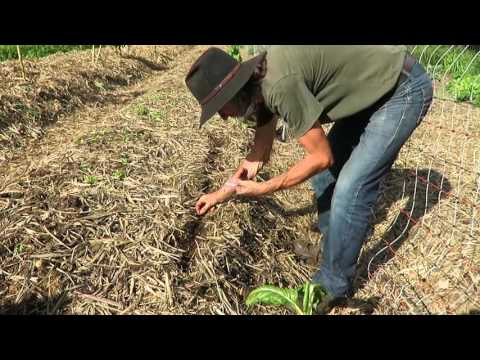 The Organic Man planting Brussel Sprouts