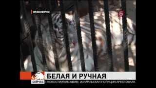 Тигру Хану в Красноярск привезли невесту