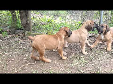 Beloved Boerboels' Eleven Week Old Puppies