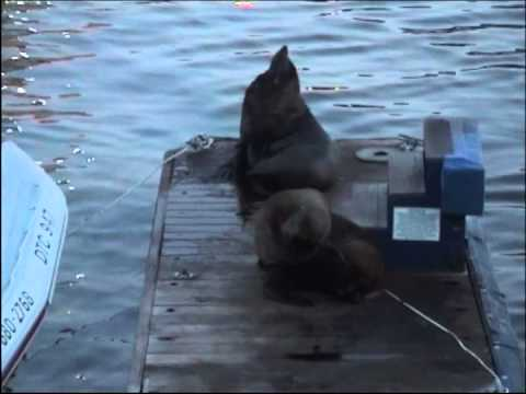 Cape Fur Seals, South Africa