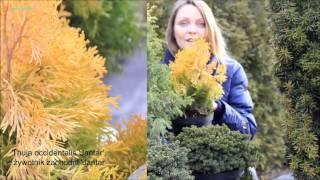 Rośliny iglaste ,atrakcyjne zimą