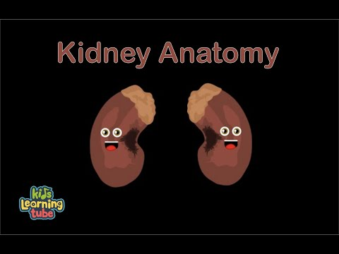 Kidneys Diagram For Kids