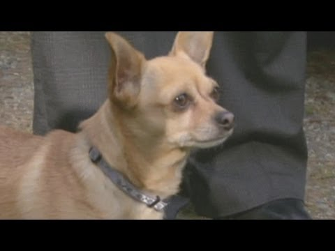 Dog attack: Brave chihuahua rescues girl from pit bull attack