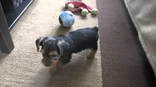 Yorkshire Terrier Puppies For Sale In Pa.