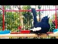 Powerfull Suara Burung Kacer Gacor Sahut Sahutan Untuk Pancingan  Mp3 - Mp4 Download