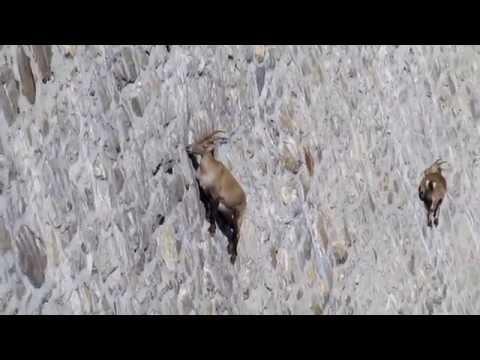 2010-09-12 Stambecchi sulla parete della diga del Cingino