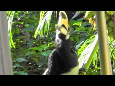 Oriental Pied Hornbill at Golden Buddha Beach Resort Thailand