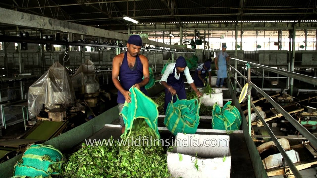 Tea leaves brought to factory from the garden - first phase of drying -  Assam