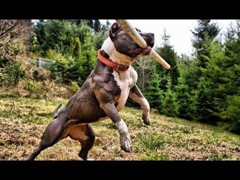 Train An American Pit Bull Terrier Dog