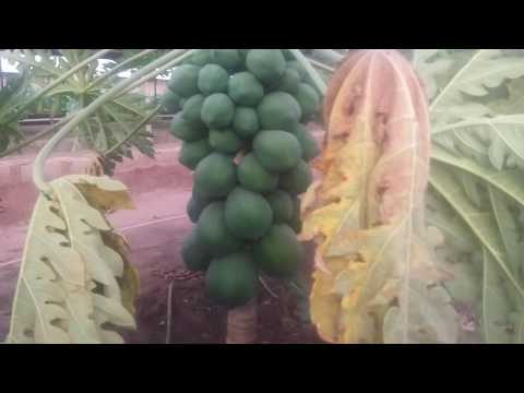 PAWPAW FARMING BUSINESS IN NIGERIA. FARMER IYKE
