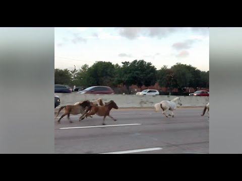 Bill Reed - WATCH! Runaway Horses On Texas Highway!