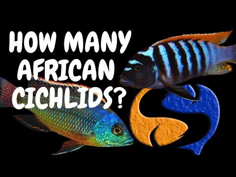 How Many African Cichlids Can I Put In My Tank Tank Talk 7/11/13 Pres. By KGTropicals