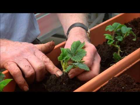 How to Grow Strawberries in a Planter