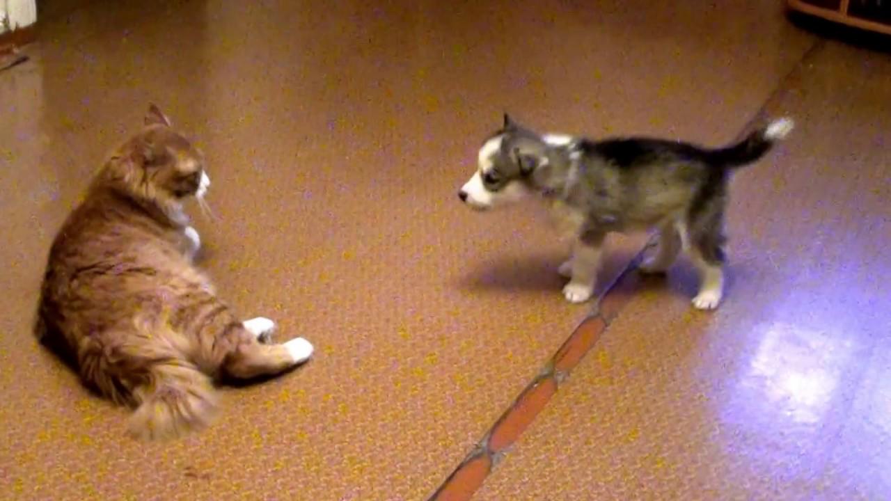 Хаски и кот видео