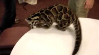 Baby Clouded Leopard thumbnail
