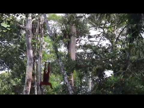 Orangutans in Malaysia, Semenggoh Wildlife Centre