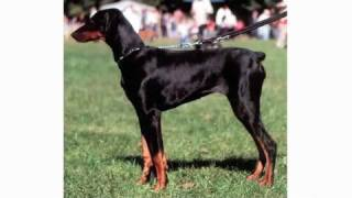 Pros & Cons Of A Doberman Pinscher | Dog Breeds