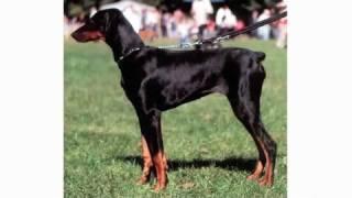 Pros & Cons Of A Doberman Pinscher | Dog Breeds