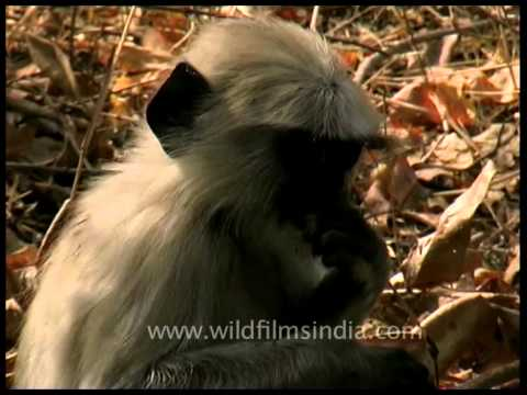 The most widespread langurs of India - Grey Langurs