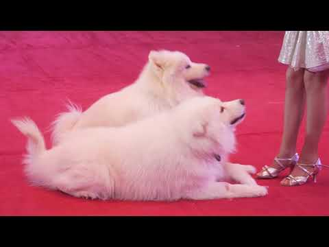 Rubtsova Diana and Dogs Moscow Niculin Circus
