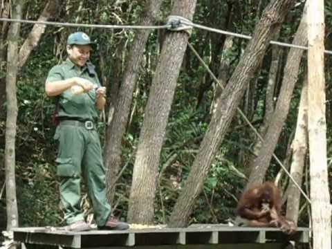 Orangutan having a Tantrum - Super Cute