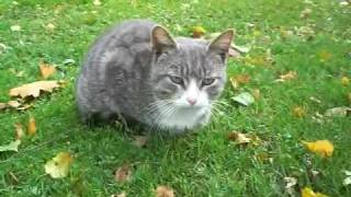 Серая кошка с красивыми глазами