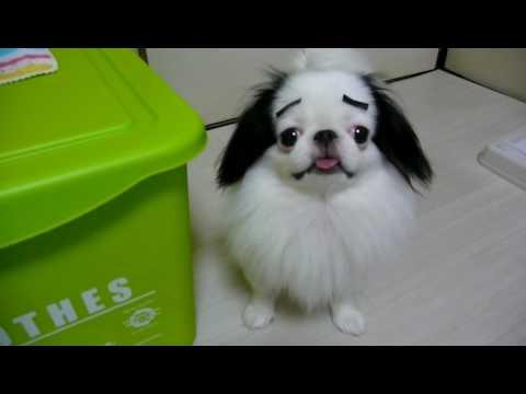 まゆげ犬です。eyebrows Dog (狆 Japanese Chin) Youtube