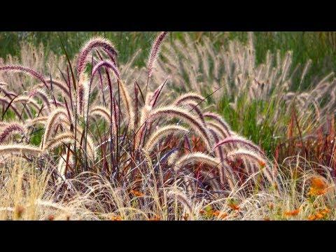 Diferentes variedades de pennisetum para el jardín - Decogarden