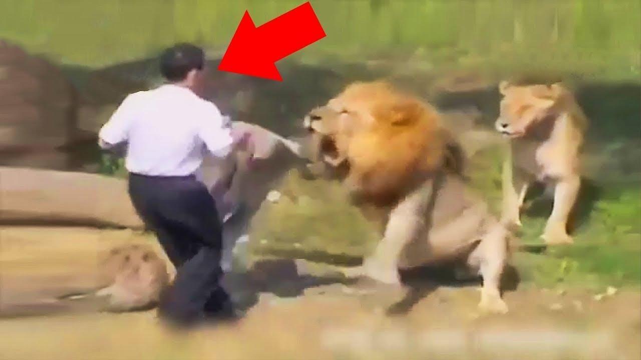 رجل مجنون دخل وسط الاسود في حديقة الحيوانات