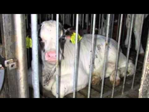 The Fight Against Factory farms