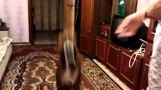 Собака боксёр выполняет команды