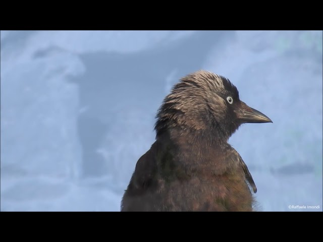 Raffaele Imondi - Birdwatching a km 0,uccelli migratori provenienti dall'Africa  Corriere Quotidiano