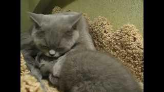Британские кошки - от любви до ненависти один шаг