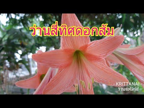 ว่านสี่ทิศ ไม้มงคลดอกสีส้มสวยๆ@สวนสองเทพ